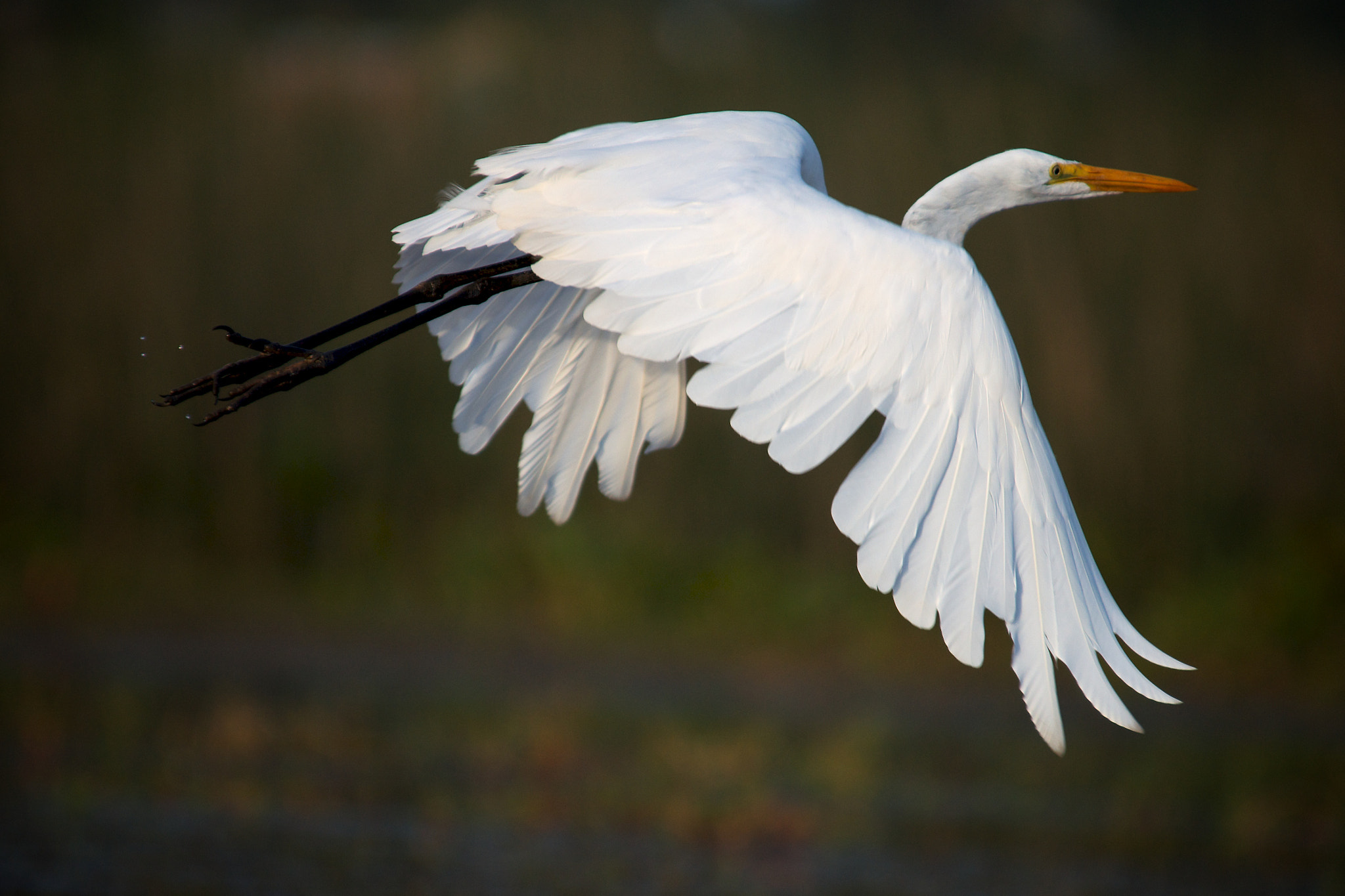 Photograph Great Egret by Remco Douma on 500px