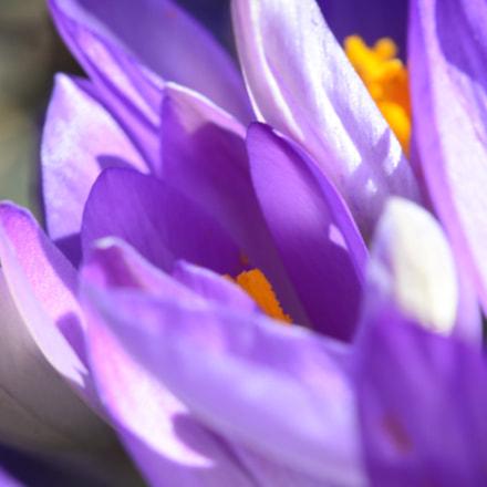 purple flower, Nikon D7000, AF-S Micro Nikkor 60mm f/2.8G ED