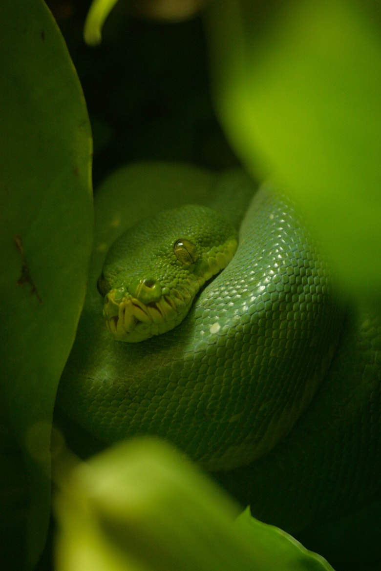 Photograph Green Tree Python by David Batchelor on 500px