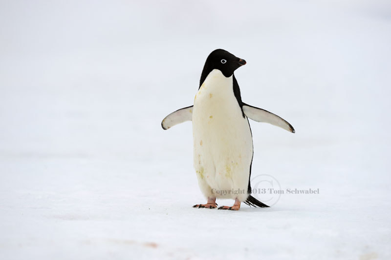 Photograph Antarctic Wind-up Toy by Tom Schwabel on 500px