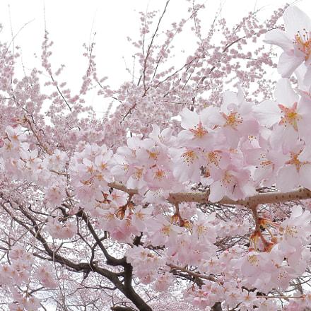満開の枝下桜 0407, Canon EOS KISS X9