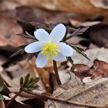 Little white flower, Nikon D3300, AF-S DX Nikkor 55-200mm f/4-5.6G ED VR II
