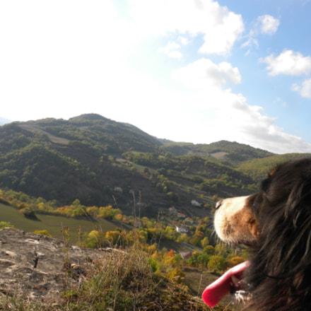 Bernese Mountain Dog, Nikon COOLPIX P90