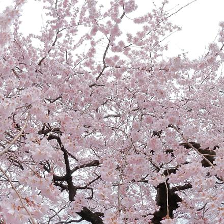 cherry blossom 0422, Canon EOS KISS X9