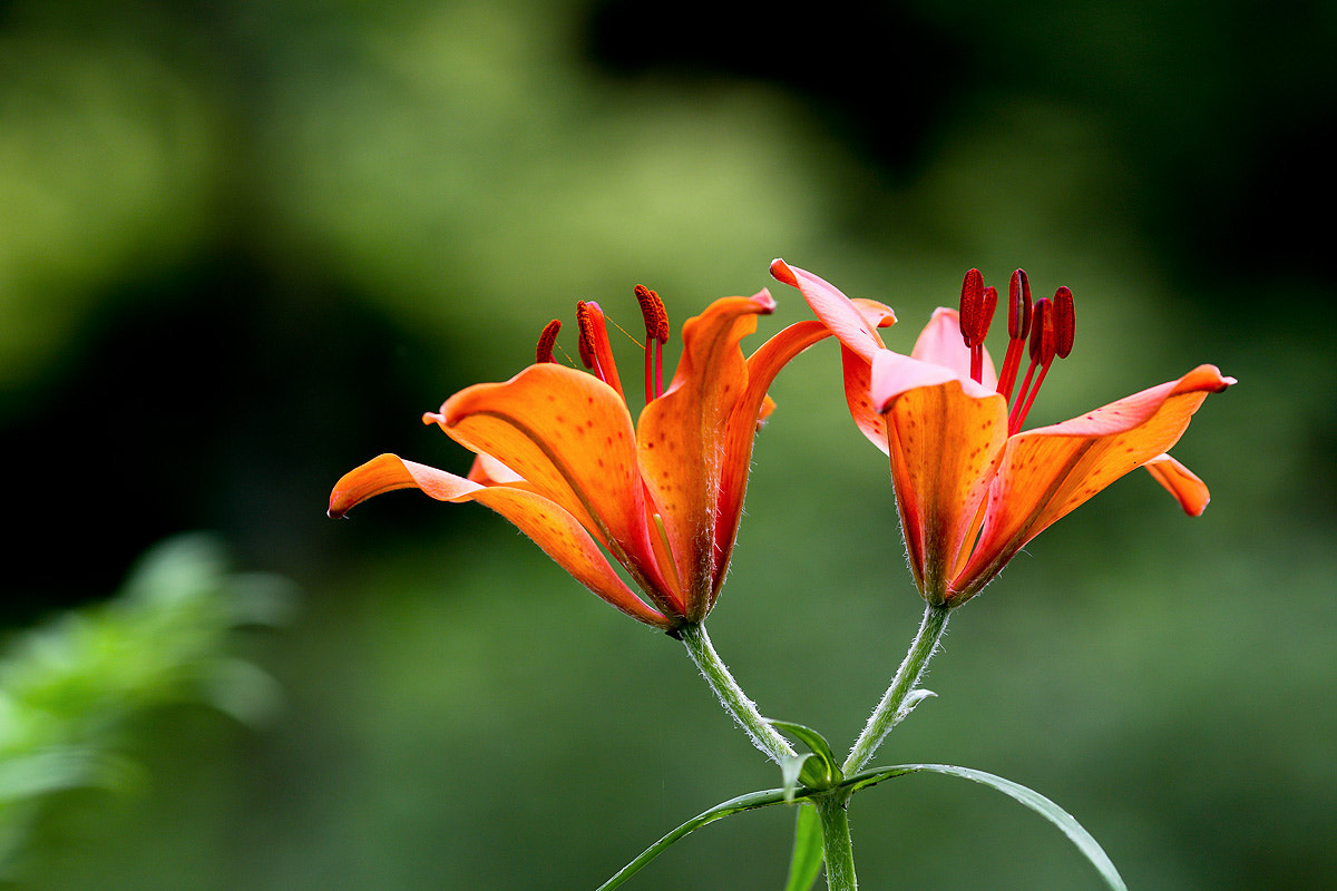 Photograph Morning star lily by LEE INHWAN on 500px