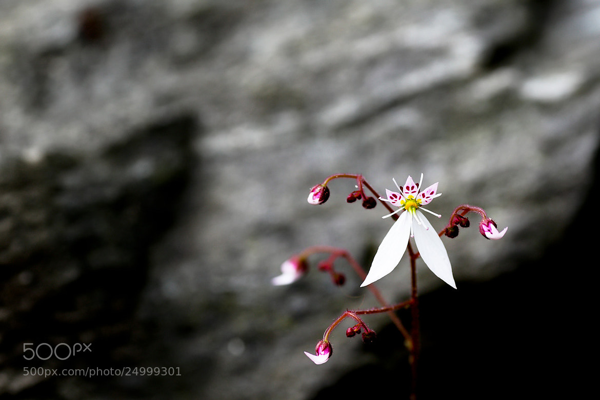 Photograph Saxifrage by LEE INHWAN on 500px