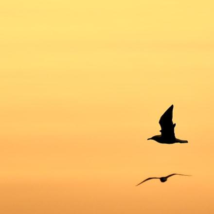 Seagulls..., Nikon D500, AF-S Nikkor 300mm f/4E PF ED VR