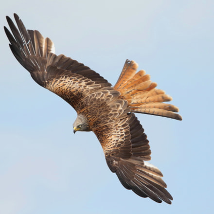 Red Kite, Canon EOS 7D MARK II, Canon EF 400mm f/4 DO IS