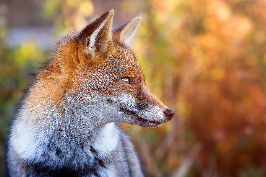the look of the fox by Daniele Carmassi on 500px.com