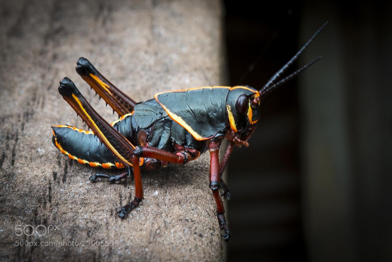 Photograph Lubber Grasshoper by p z on 500px