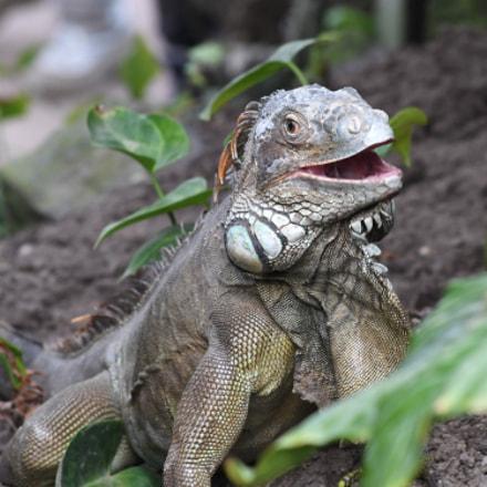 Green iguana (Iguana iguana), Nikon D500, AF-S DX VR Nikkor 55-300mm f/4.5-5.6G ED