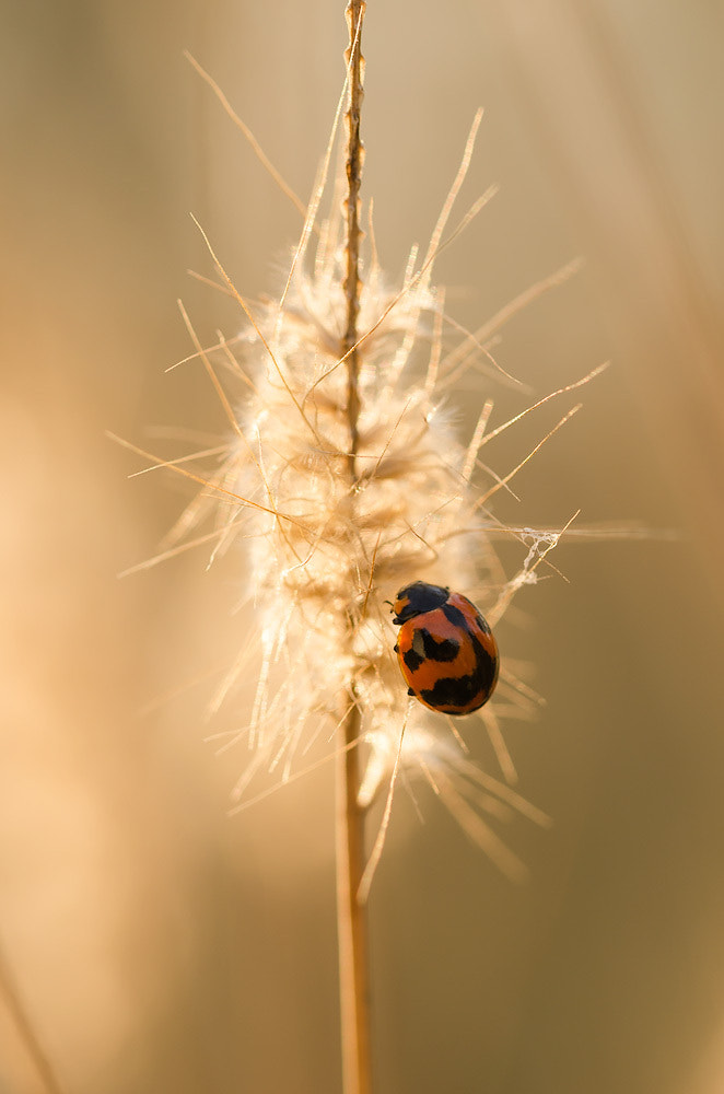 Photograph Ladybug by Peerasith Chaisanit on 500px