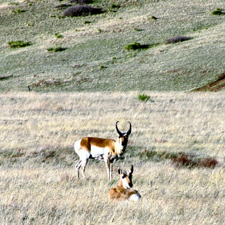 Resting Antelope, Canon POWERSHOT SX230 HS
