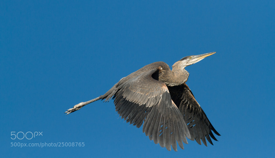 Photograph Great Blue Climbing by Timothy Fairley on 500px