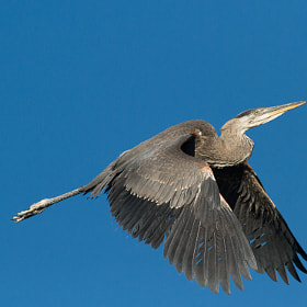 Great Blue Climbing by Timothy Fairley (timothyfairley)) on 500px.com