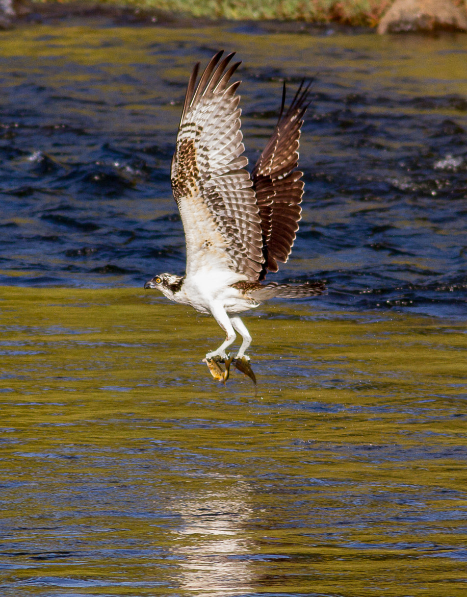 Photograph Osprey lunch for two by Timothy Fairley on 500px