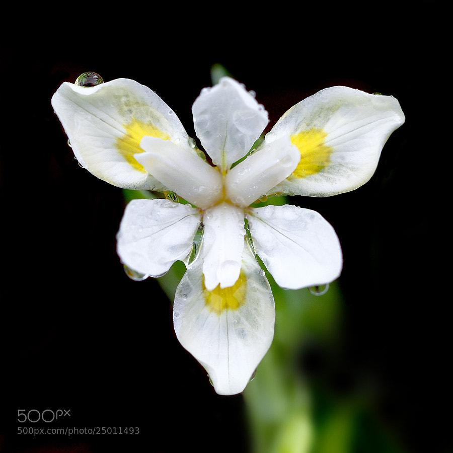 Photograph Iris odaesanensis by LEE INHWAN on 500px