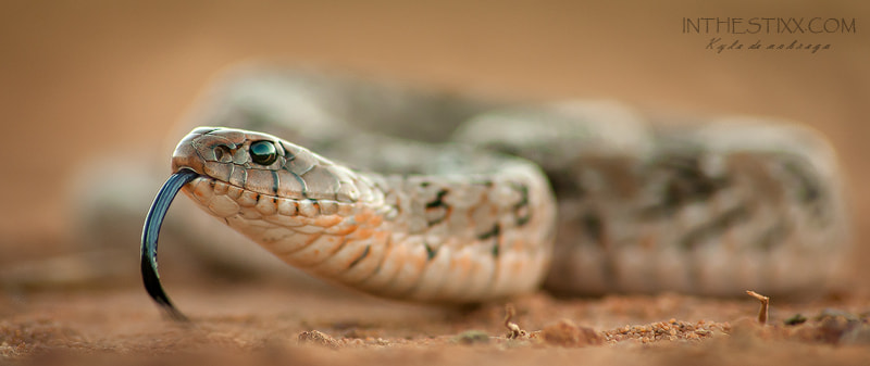 Photograph Night adder by kyle de nobrega on 500px