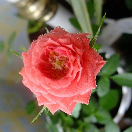 Pink rose, Fujifilm FinePix F200EXR