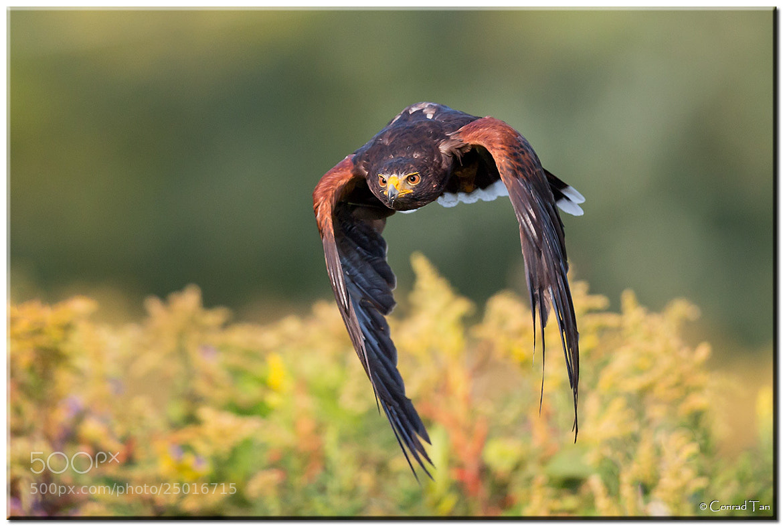 Photograph Harris's Hawk by Conrad Tan on 500px