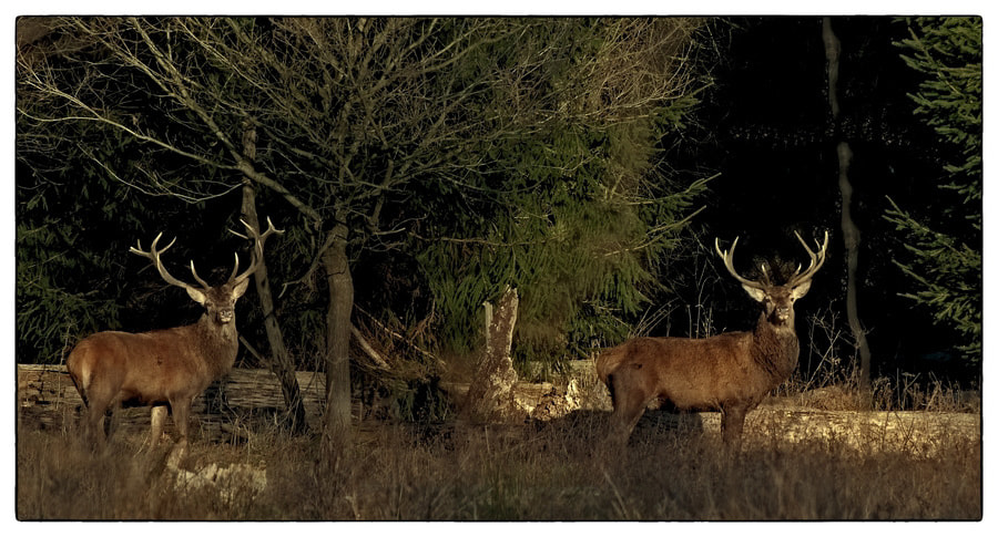 Photograph Reddeer by Cor Pijpers on 500px
