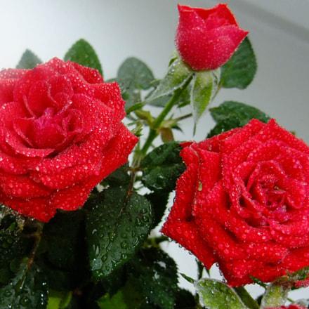 Red roses, Fujifilm FinePix F200EXR