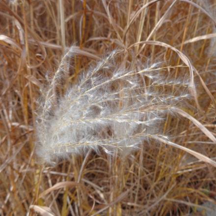 Ornamental grass plume., Sony DSC-W730
