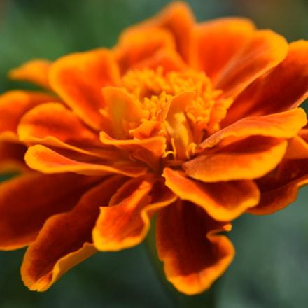 orange color flower, Nikon D750, AF Micro-Nikkor 200mm f/4D IF-ED