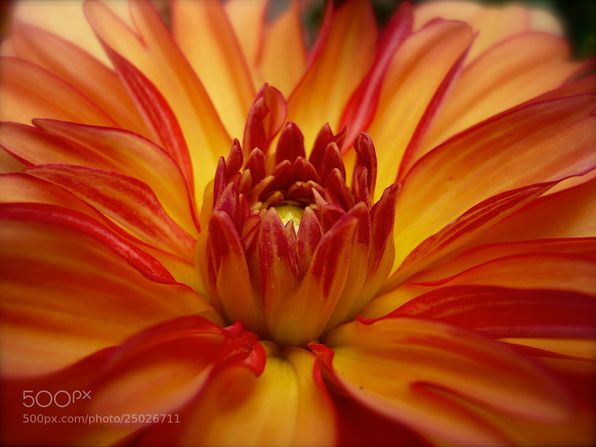 Photograph Blume by Amelie Kim on 500px
