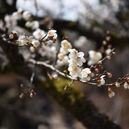 白梅 兼六園 金沢, Nikon D750, AF-S Micro Nikkor 60mm f/2.8G ED
