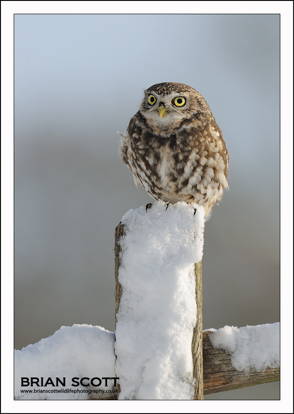 Photograph Little Owl by Brian Scott on 500px