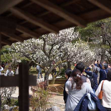 梅を愛でる 兼六園 金沢 (2), Nikon D750, AF-S Micro Nikkor 60mm f/2.8G ED