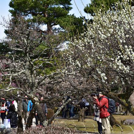 梅を愛でる 兼六園 金沢, Nikon D750, AF-S Micro Nikkor 60mm f/2.8G ED