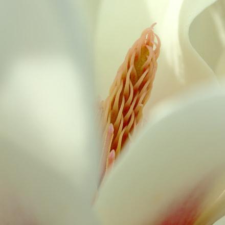 magnolia, Canon EOS KISS X7, Canon EF-S 60mm f/2.8 Macro USM