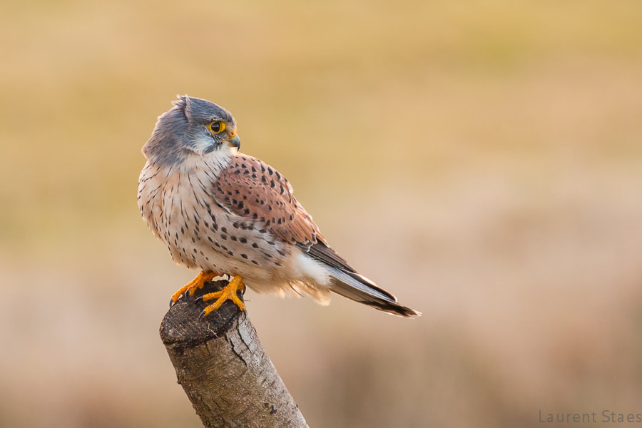 Photograph Common Kestrel by Laurent Staes on 500px