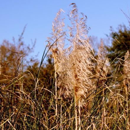 The Ornamental Maiden Grass, Canon EOS REBEL T3, Canon EF-S 55-250mm f/4-5.6 IS II