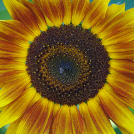 Sunflower, Pentax K-R, smc PENTAX-DA L 50-200mm F4-5.6 ED