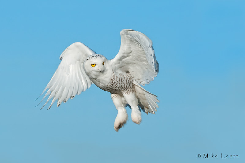 Photograph Snowy Owl drifts by by Mike  Lentz on 500px