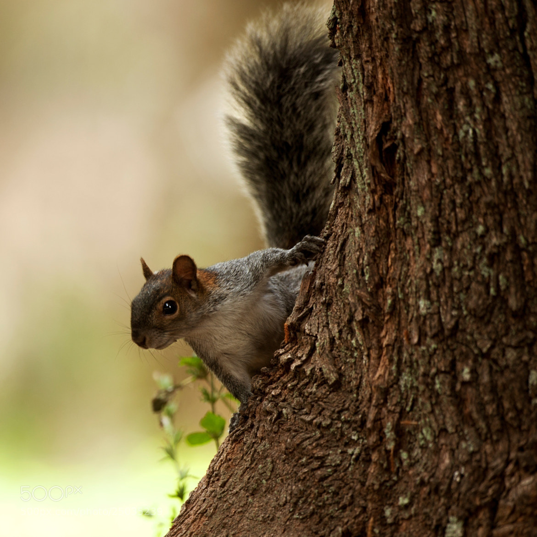 Photograph Squirrel by Cristobal Garciaferro Rubio on 500px