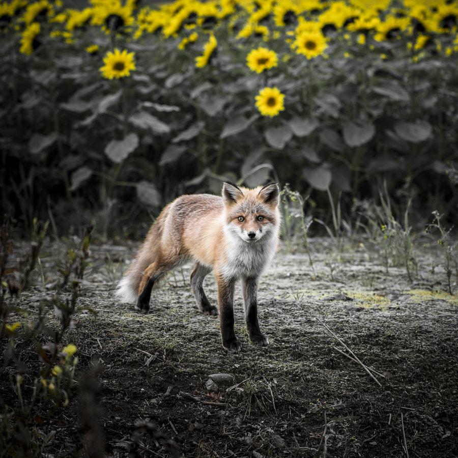 500px.comのKousuke Toyoseさんによるred fox キタキツネ
