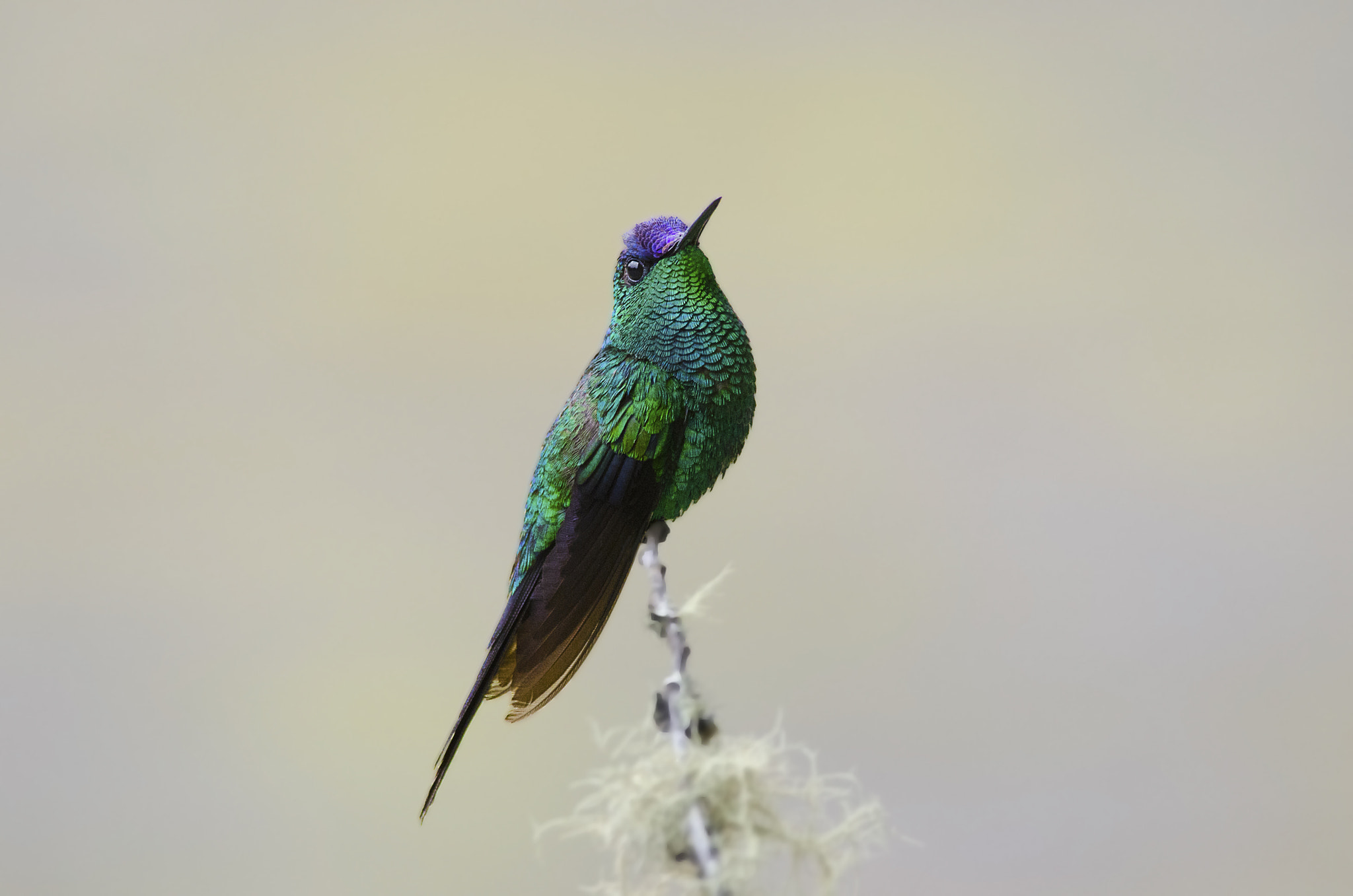 Photograph Violet-capped Woodnymph by jarbas mattos on 500px