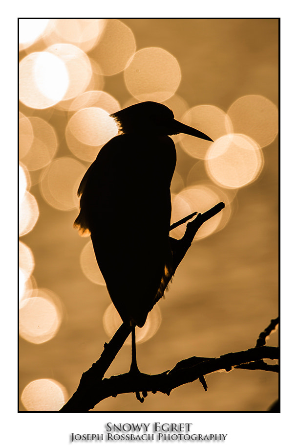 Photograph Snowy Egret Silhouette by Joseph Rossbach on 500px