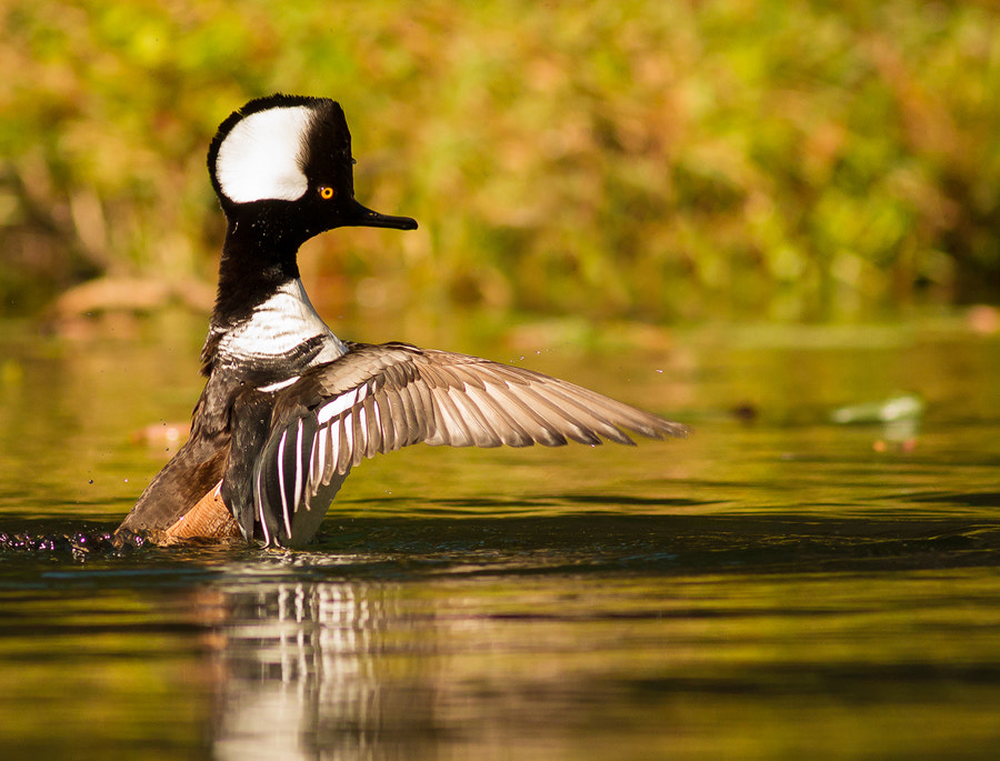 Photograph Male Hooded Merganser by Phillip Simmons on 500px