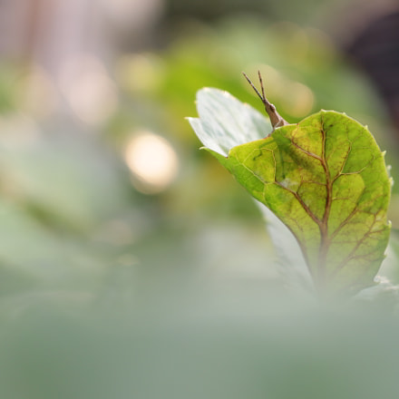 Grasshopper, Canon EOS 70D, Canon EF-S 18-55mm f/3.5-5.6 IS STM