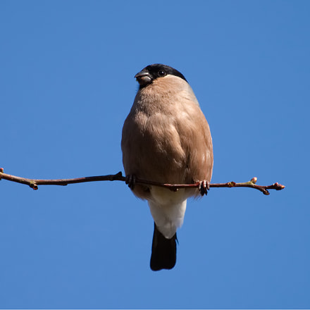 Mrs. Bullfinch