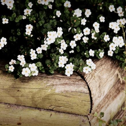 White Flowers, Louisiana, April 2012, Canon EOS REBEL T3, Canon EF-S 55-250mm f/4-5.6 IS II