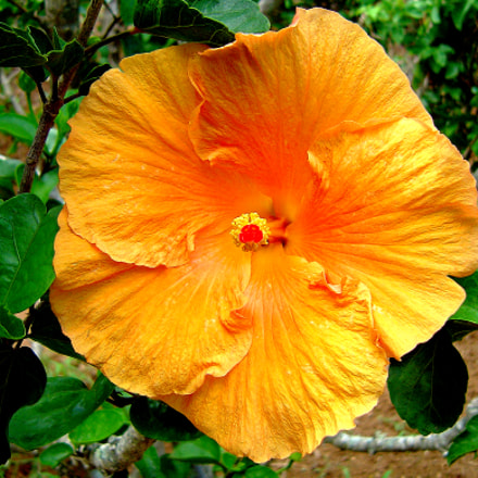 bermuda hibiscus, Sony DSC-P92