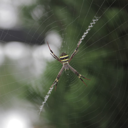 St. Andrews Cross Spider, Canon EOS 7D