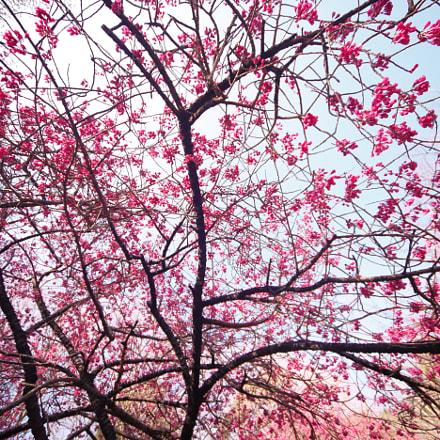 Prunus campanulata, Canon EOS 5D MARK II, Sigma 12-24mm f/4.5-5.6 EX DG ASPHERICAL HSM