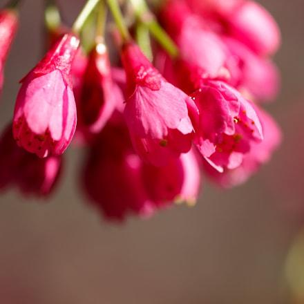 Prunus campanulata, Canon EOS 5D MARK II, Canon EF 100mm f/2.8 Macro